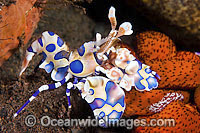 Harlequin Shrimps feeding on sea star Photo - Gary Bell