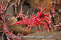 Hinge-beak Shrimp cluster Photo - Gary Bell