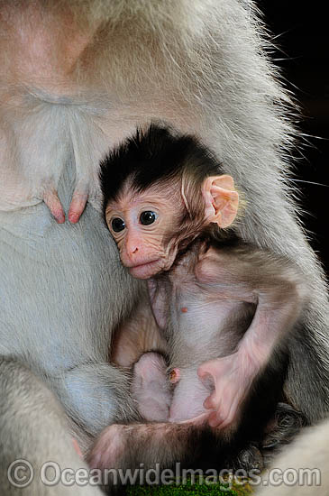 Long-tailed Macaque (Macaca fascicuiaris), mother and baby. Also known as Bali Monkey. Photo taken at Sacred Monkey Forest of Padangtegal, Ubud, Bali, Indonesia. Photo - Gary Bell