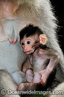 Bali Monkey mother and baby Photo - Gary Bell