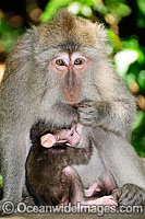 Long-tailed Macaque mother and baby