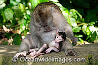 Bali Monkey mother and baby