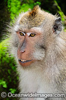 Long-tailed Macaque female Photo - Gary Bell