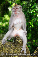 Bali Monkey female Photo - Gary Bell