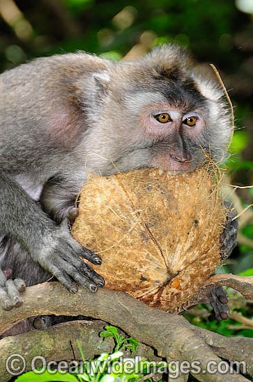 Long-tailed Macaque (Macaca fascicuiaris), feeding on a coconut. Also known as Bali Monkey. Photo taken at Sacred Monkey Forest of Padangtegal, Ubud, Bali, Indonesia. Photo - Gary Bell