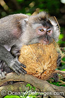 Long-tailed Macaque feeding on coconut Photo - Gary Bell