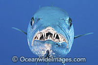 Great Barracuda showing teeth Photo - Gary Bell