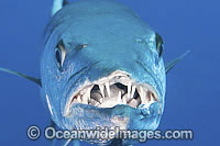 Great Barracuda showing teeth image