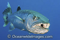 Great Barracuda mouth open image