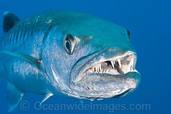 Great Barracuda Stock Photo