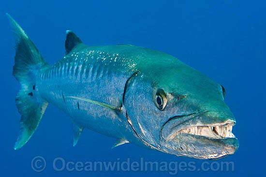 Great Barracuda showing teeth photo