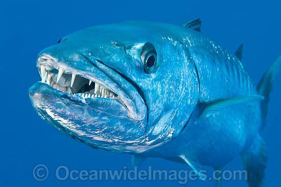 great barracuda teeth