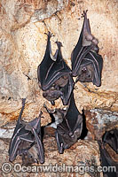 Fruit Bats roosting Photo - Gary Bell