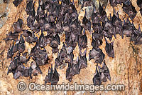 Bats in Bali Bat Temple Photo - Gary Bell