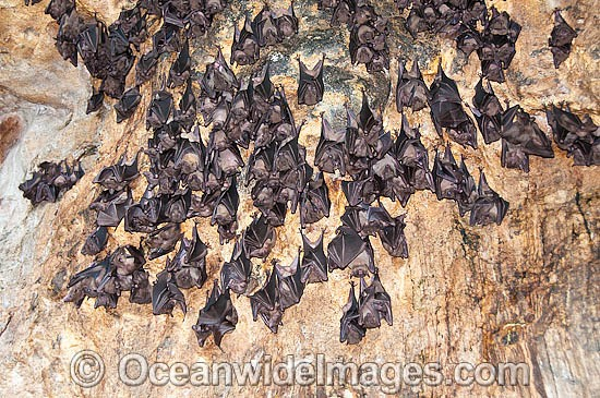 Egyptian Fruit Bats (Rousettus aegyptiacus), roosting in Pura Goa Lawah (Bat Cave Temple), Bali, Indonesia. Within the Coral Triangle. Photo - Gary Bell