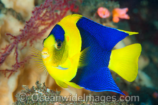 Bicolor Angelfish (Centropyge bicolor). Also known as Oriole Angelfish. Found throughout the Central and western Pacific, from Malaysia to Samoa Islands and Great Barrier Reef (Australia) to Japan.