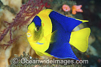 Bicolor Angelfish Centropyge bicolor Photo - Gary Bell
