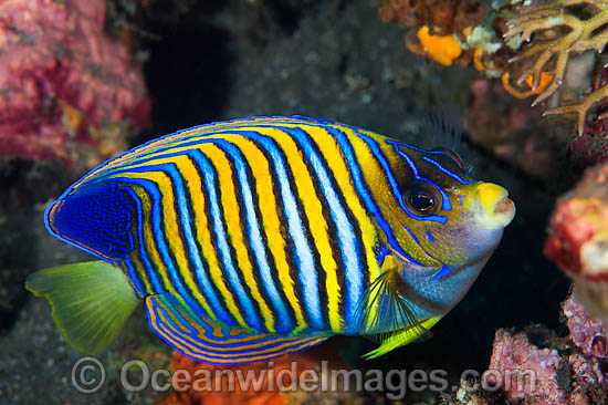 Regal Angelfish (Pygoplites diacanthus). Found throughout the Indo-Pacific, including the Great Barrier Reef, Australia.