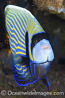 Emperor Angelfish Pomacanthus imperator Photo - Gary Bell