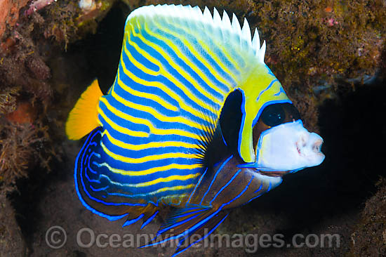emperor angelfish changing - photo #40