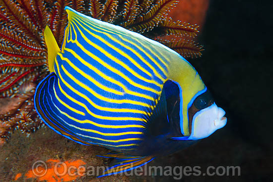 Emperor Angelfish (Pomacanthus imperator). Found throughout the Indo-Pacific, including the Great Barrier Reef, Australia.