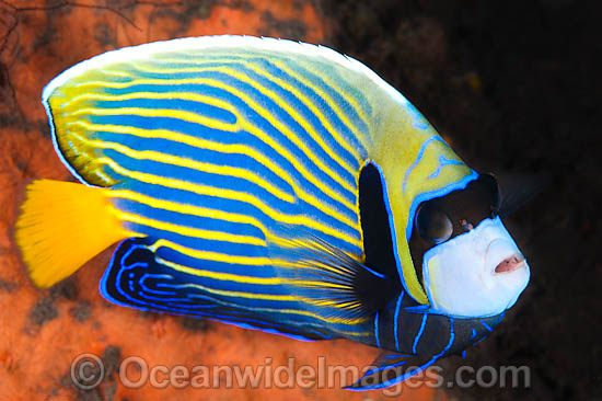 Emperor Angelfish (Pomacanthus imperator). Found throughout the Indo-Pacific, including the Great Barrier Reef, Australia. Photo - Gary Bell