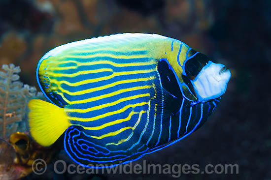 Emperor Angelfish (Pomacanthus imperator), adolescent. Found throughout the Indo-Pacific, including the Great Barrier Reef, Australia. Photo - Gary Bell