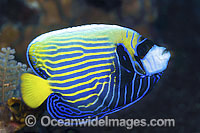Emperor Angelfish adolescent Photo - Gary Bell