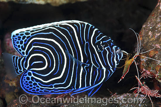 Emperor Angelfish (Pomacanthus imperator), juvenile being cleaned by Cleaner Shrimp (Lysmata amboinensis). Found throughout the Indo-Pacific, including Great Barrier Reef, Australia. Photo taken at Tulamben, Bali, Indonesia. Within Coral Triangle.