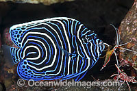 Emperor Angelfish being cleaned by shrimp