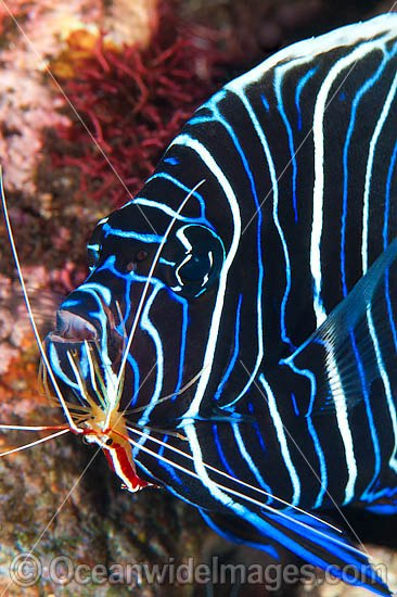 Emperor Angelfish (Pomacanthus imperator), juvenile being cleaned by Cleaner Shrimp (Lysmata amboinensis). Found throughout the Indo-Pacific, including Great Barrier Reef, Australia. Photo taken at Tulamben, Bali, Indonesia. Within Coral Triangle. Photo - Gary Bell