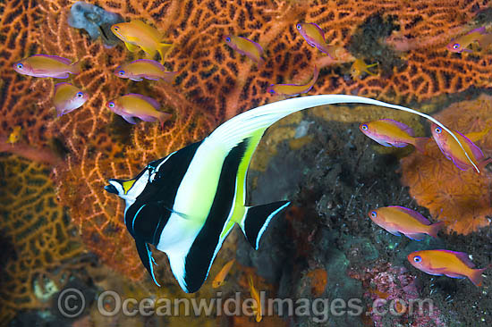 Moorish Idol (Zanclus cornutus), with Fairy Basslets. Found throughout the Indo-West Pacific, including the Great Barrier Reef, Australia.