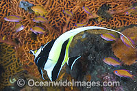 Moorish Idol Zanclus cornutus photo