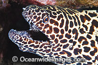 Honeycomb Moray Gymnothorax favageneus photo