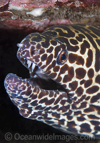 Honeycomb Moray Eel (Gymnothorax favageneus). Found throughout the Indo-West Pacific, including the Great Barrier Reef, Australia. Photo taken at Tulamben, Bali, Indonesia. Within the Coral Triangle.
