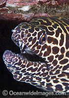 Honeycomb Moray photo