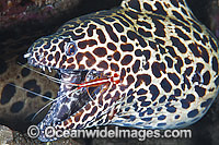Honeycomb Moray cleaned by Shrimp