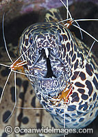 Shrimp cleaning Honeycomb Moray