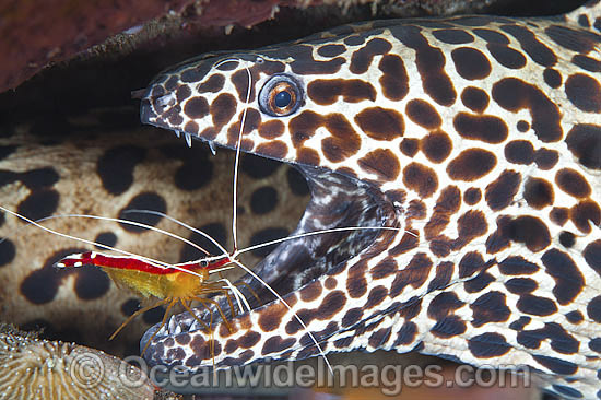 Honeycomb Moray cleaned by Shrimp photo