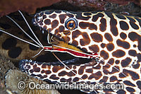 Shrimp cleaning Honeycomb Moray photo