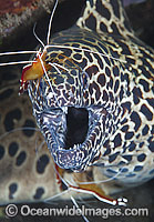 Honeycomb Moray being cleaned by shrimp photo
