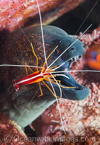 Cleaner Shrimp (Lysmata amboinensis), cleaning a Yellow-edged Moray (Gymnothorax flavimarginatus). Found throughout the Indo-West Pacific, including the Great Barrier Reef, Australia. Photo taken at Tulamben, Bali, Indonesia. Within Coral Triangle. Photo - Gary Bell