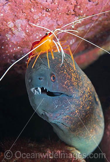 Cleaner Shrimp (Lysmata amboinensis), cleaning a Yellow-edged Moray (Gymnothorax flavimarginatus). Found throughout the Indo-West Pacific, including the Great Barrier Reef, Australia. Photo taken at Tulamben, Bali, Indonesia. Within Coral Triangle.