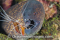 Yellow-edged Moray cleaned by shrimp photo