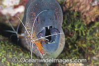 Moray eel cleaned by shrimp photo
