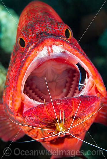 Shrimp and Wrasse cleaning Grouper photo