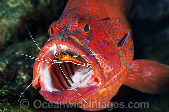 Cleaner Shrimp (Lysmata amboinensis) and Cleaner Wrasse (Labroides dimidiatus), cleaning a Tomato Grouper (Cephalopholis sonnerati), also known as Tomato Rock Cod. Found throughout the Indo-West Pacific, including Great Barrier Reef, Australia.