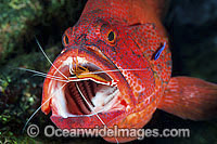 Shrimp and Wrasse cleaning Grouper