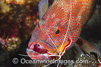 Shrimp cleaning inside mouth of Grouper photo