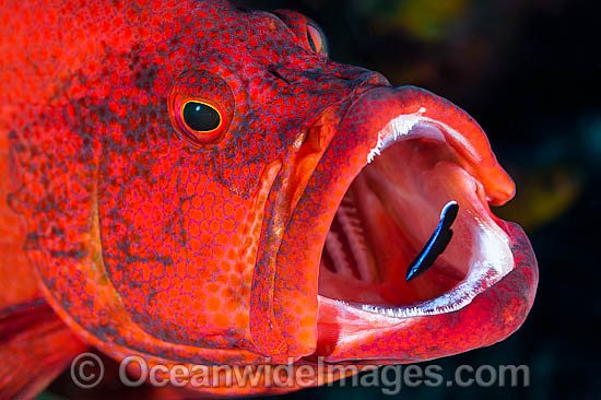 Wrasse cleaning inside fish mouth